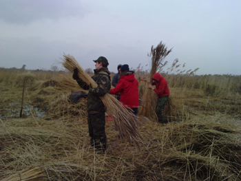 volunteers reed collecting
