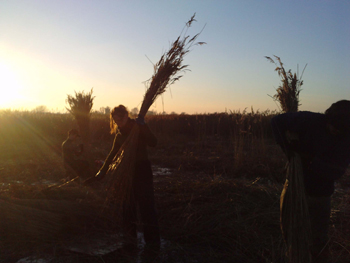 volunteers reed collecting, late on a winter day